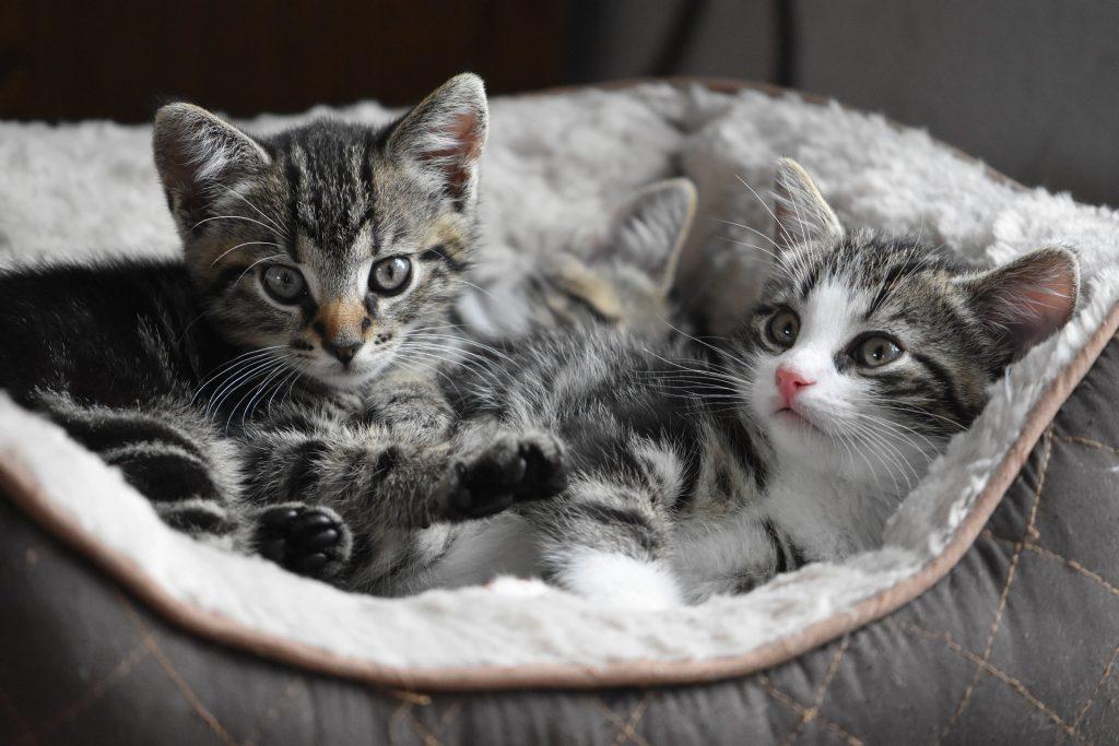 Deux chatons tigrés aux yeux verts installés dans un hamac de radiateur pour chat