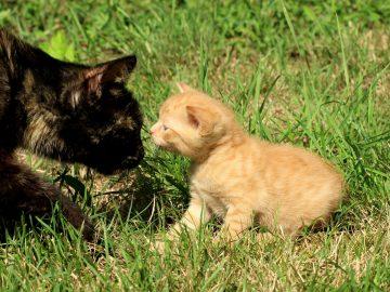 Un chat noir adulte qui sent le museau d'un chaton roux au milieu de l'herbe