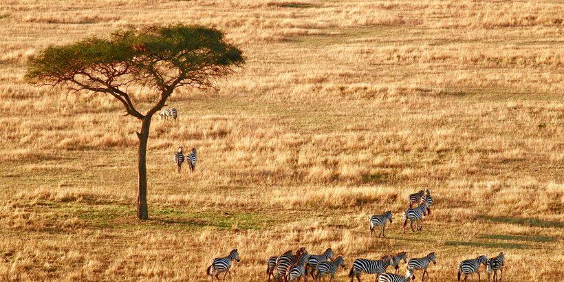safari-tanzanie-arbre-zebres