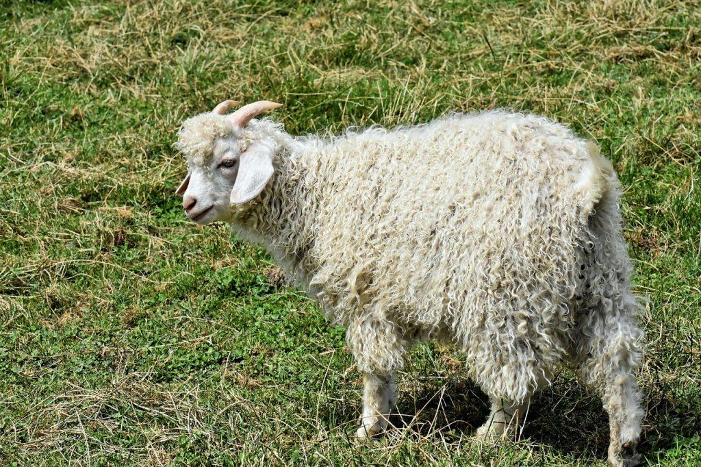 chèvre élevée dans la région du Cachemire pour sa laine