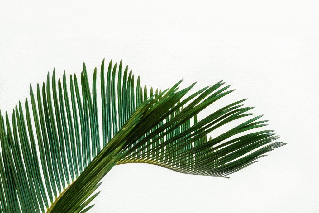Palmier jardin